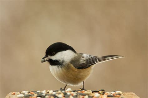 what is bird seed bird cages