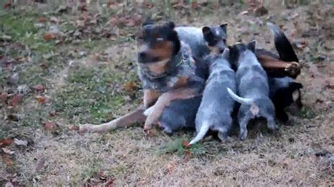 blue heeler puppies for sale indiana blue heeler puppies for sale