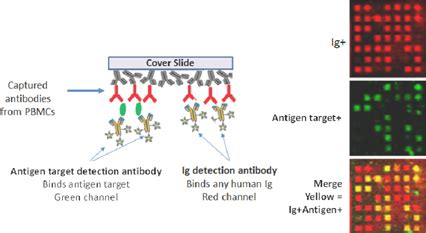 Figure 3 Antibodies Secreted From Single Cells Screened