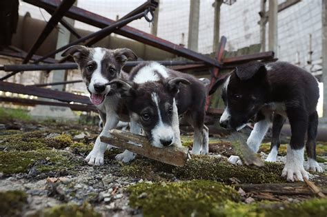 puppies of chernobyl radioactive puppies in chernobyl are sent help fuzzydose