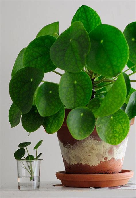 money plant in bathroom pilea peperomioides chinese money plant how to care for