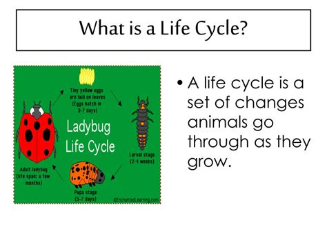 Ppt The Life Cycle Of Ladybugs Powerpoint Presentation | ppt the life cycle of ladybugs powerpoint presentation