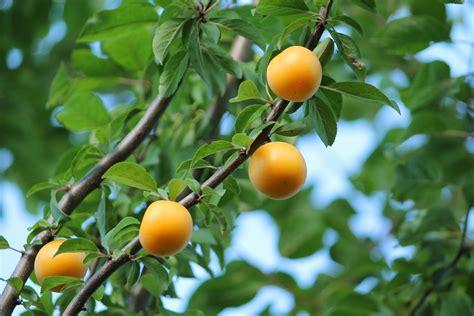 cherry tree yellow fruit cherry plum fruits berries tree harvest leaves nature summer yellow wallpaper 3000x2000