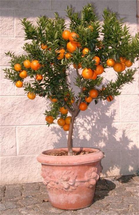 albero di limoni in vaso la coltivazione chinotto