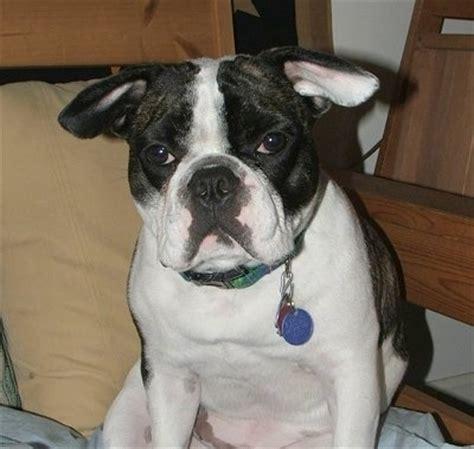 bulldog boston terrier mix puppies boston bulldog breed pictures 1