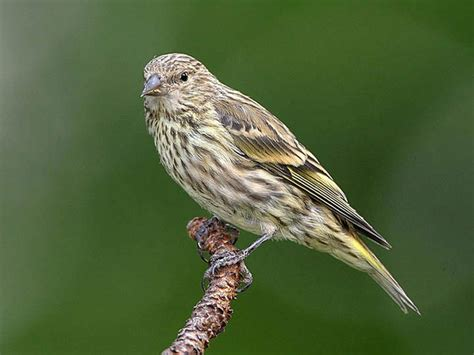 pine siskin knoxville winter birds pinterest