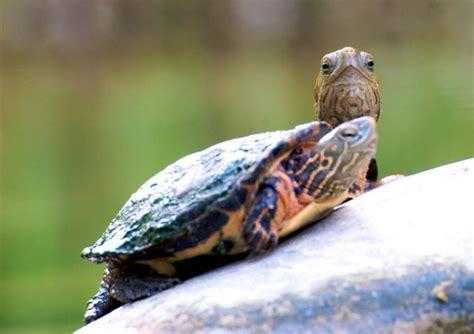 casa tartarughe come prendersi cura di una tartaruga soluzioni di casa