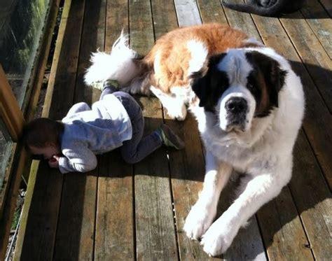 adopt a puppy seattle bernard adoption adopt a st bernard or puppy