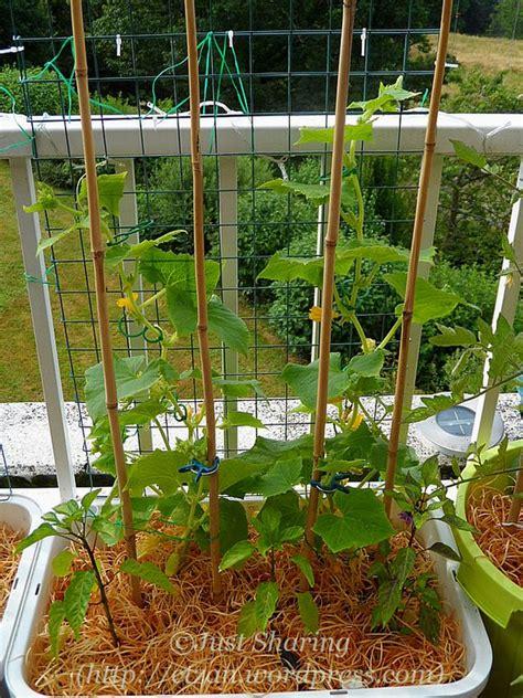 cucumber container gardening balcony garden in july cucumbers just
