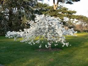 Tree With Small White Flowers In Spring - prunus shirotae mount fuji cherry tree shrub
