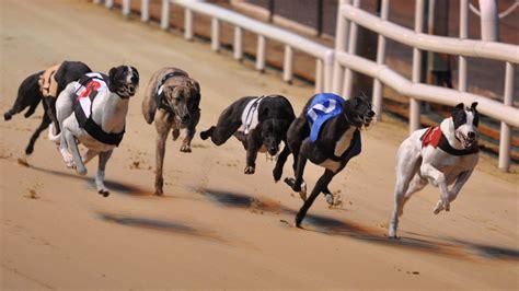 puppy racing greyhound racing