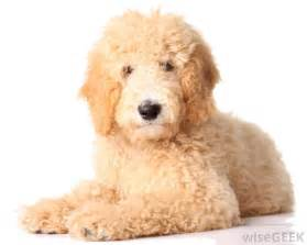 doodle like what is a goldendoodle with pictures