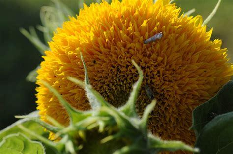 fiore di girasole fiori