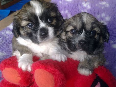 shih tzu mixed with lhasa apso lhasa apso x shih tzu peterborough cambridgeshire