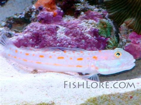 goby orange spotted sleeper goby