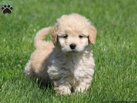 mini doodle breeders in pa callie miniature goldendoodle for sale in east earl pa