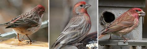 house finch food preferences cassin s finch house finch and purple finch en anglais feederwatch