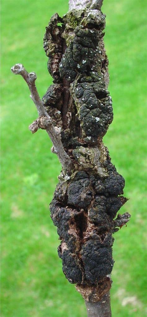 fruit tree fungus identification plant doctor fruit trees