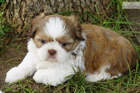 shih tzu breeders in kansas shih tzu puppy for sale near kansas city missouri 8a3521dd 8a71