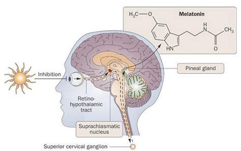 Does Melatonin Detox Brain by Your Melatonin Levels For Gut Hormone Bone And