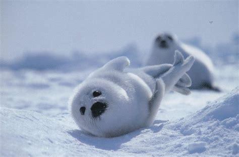 baby seal pup baby harp seal pup sea worthy ness