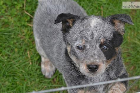 blue heeler puppies for sale in ky australian cattle blue heeler puppy for sale near louisville kentucky f10a7790 e011