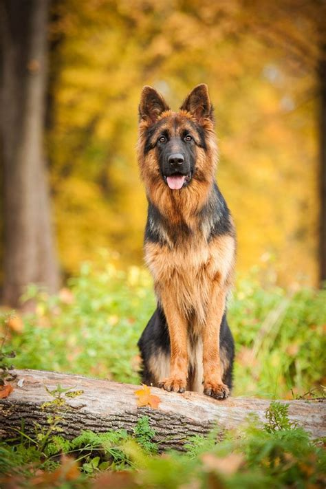 german shepherd names names starting with a models picture
