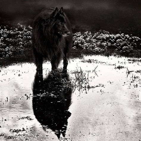 home wolf shadow photography fine art animal photography