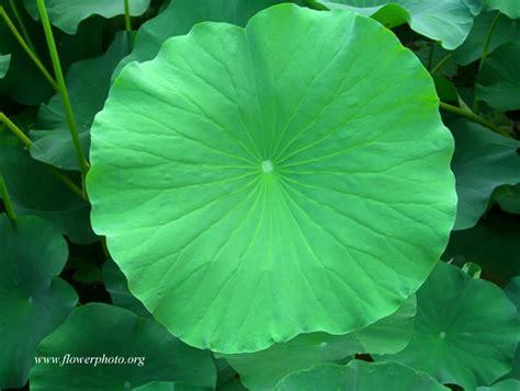 lotus leafs lotus leaf photos