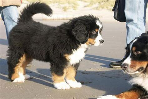 bernese mountain mix puppies great pyrenees poodle mix breeds picture