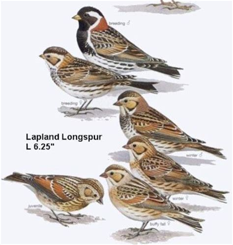 Gray Interior Oregon Birds Lapland Longspur