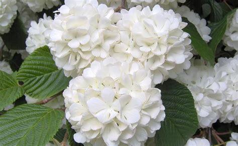 ortensia in vaso cura vaso di ortensie ortensia coltivazione e cura unadonna