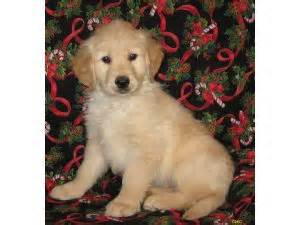 golden retrievers iowa golden retriever puppies in iowa
