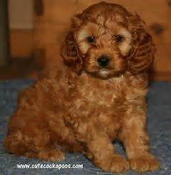 cockapoo colors apricot merle parti tri colored cockapoo