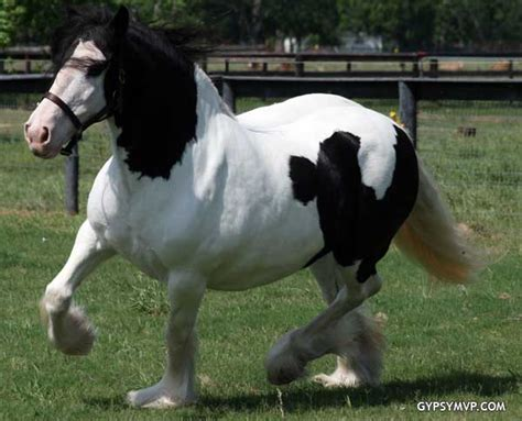 Bone Structure 5634 by Vanner Horses From Mvp Are The Finest Quality