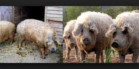 Bulu Korea Jenis Bulu Domba babi berbulu domba berita dan gambar unik
