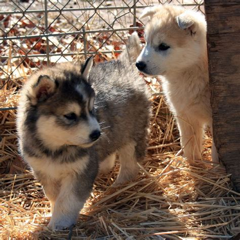 wolfdog puppies wolf puppies img 1585 picnik destiny and tund flickr