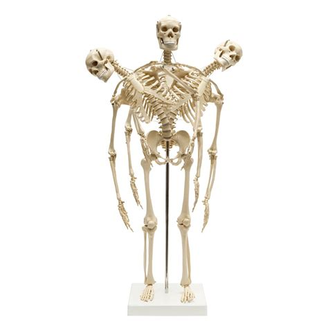 a skeleton mini anatomical skeleton with spine sports