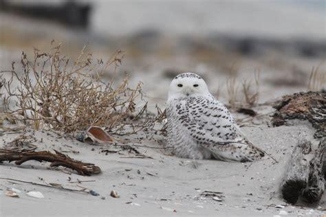 snowy owls from ny to nj by alex lamoreaux nemesis bird