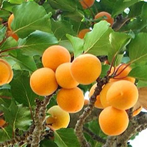 does all fruit grow on trees golden glow apricot tree buy self fertile apricot fruit