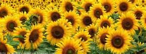 couverture fleur de soleil photo et image