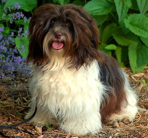 how much does a havanese cost carita havanese havanese havanese puppies chocolate havanese havanese