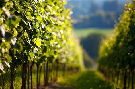 A Partir De Quand Planter Les échalotes by Quand Planter Une Vigne Quelle Est La Meilleure Saison