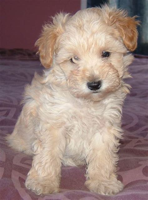 Schnoodle Shedding by Growing Puppies Virginia Breeder Of Hypoallergenic Schnoodle Dogs Schnoodles In High Demand