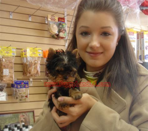 yorkie breeders in ny maltese with yorkie breeds picture