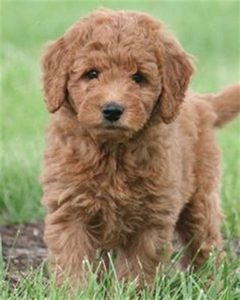 stop golden retriever shedding our new pomapoo puppy named braidy hairstyles