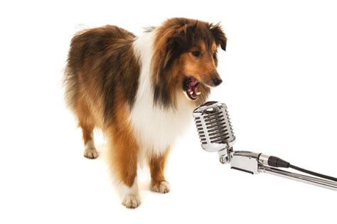 cing with dogs 7 singing dogs who real talent napa s daily growl