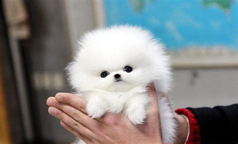what is a teacup pomeranian teacup pomeranian what s about em what s bad about em
