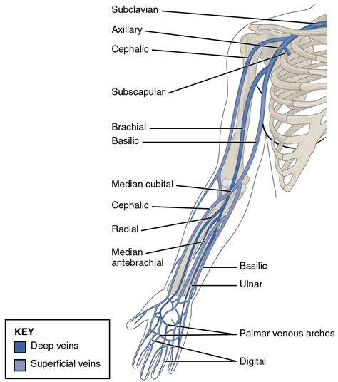 arm veins diagram limb veins book covers