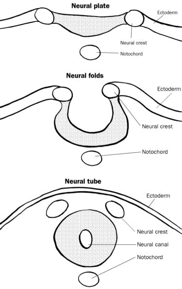 pattern formation in the vertebrate neural tube neurogenesis or where do brains come from leep pioneers